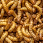 Giant Meal Worms 1000/box