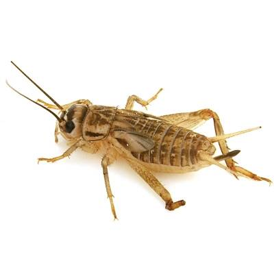 live crickets