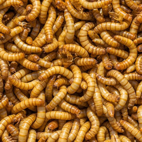 1000 meal worms